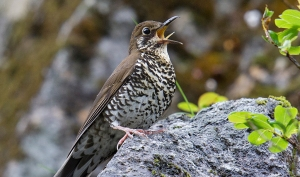 himalayan-forest-thrush-bird
